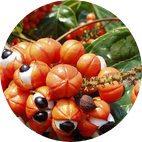 Extrait de la graine guarana a un effet stimulant comme ingrédient naturel de Dextrom